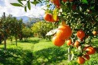 Sad pomarańczowy